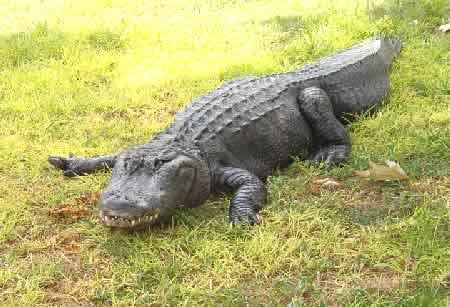 Израиль. Хамат-Гадер. В крокодильем питомнике. Фото Л. Келлера
