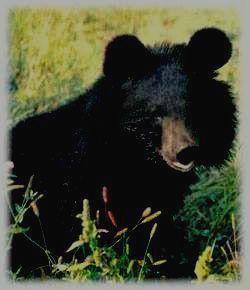 КЕДРОВАЯ ПАДЬ -белогрудый медведь