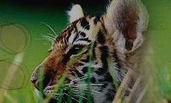 Подрастающий король джунглей