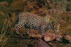 КАБАРДИНО-БАЛКАРСКИЙ - леопард