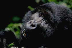 Горные гориллы, вопреки всеобщему мнению, очень кроткие существа!