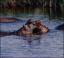 Бегемоты обожают водные процедуры!