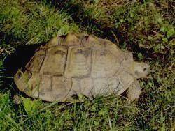 ДАГЕСТАНСКИЙ ЗАПОВЕДНИК - средиземноморская черепаха