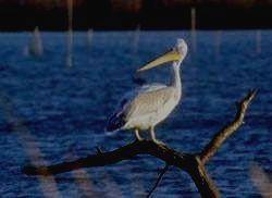 ДАГЕСТАНСКИЙ ЗАПОВЕДНИК - кудрявый пеликан