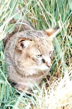 ДАГЕСТАНСКИЙ ЗАПОВЕДНИК - камышовый кот