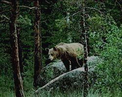 заповедник ДЕНЕЖКИН КАМЕНЬ - медведь