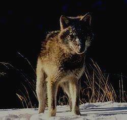 ДЖЕРГИНСКИЙ ЗАПОВЕДНИК - волк