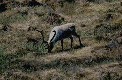 заповедник МАЛАЯ СОСЬВА - северный олень