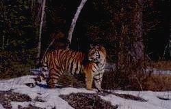 СИХОТЭ-АЛИНСКИЙ ЗАПОВЕДНИК - тигр