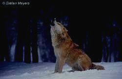ПЕЧЕРО-ИЛЫЧСКИЙ ЗАПОВЕДНИК - волк