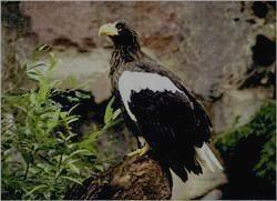СИХОТЭ-АЛИНСКИЙ ЗАПОВЕДНИК - белоплечий орлан