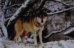 ВИСИМСКИЙ ЗАПОВЕДНИК - волк