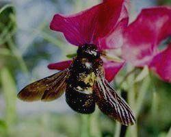 ВОРОНИНСКИЙ ЗАПОВЕДНИК - пчела-плотник