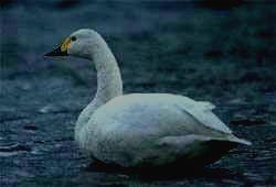 заповедник СТОЛБЫ - тундровый лебедь