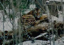 ЛАЗОВСКИЙ ЗАПОВЕДНИК - тигр