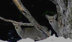 ЛАЗОВСКИЙ ЗАПОВЕДНИК - пятнистый олень