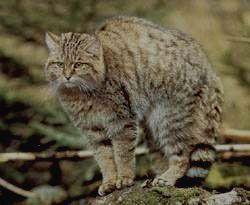 ТЕБЕРДИНСКИЙ ЗАПОВЕДНИК - лесной кот
