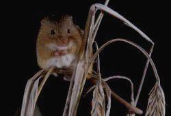 ОРЕНБУРГСКИЙ ЗАПОВЕДНИК - мышь-малютка
