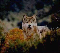 ОРЕНБУРГСКИЙ ЗАПОВЕДНИК - волк