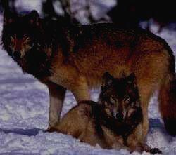 ХАНКАЙСКИЙ ЗАПОВЕДНИК - волк