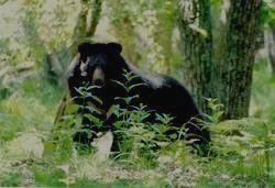 ХАНКАЙСКИЙ ЗАПОВЕДНИК - гималайский медведь