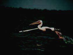 РОСТОВСКИЙ ЗАПОВЕДНИК - розовый пеликан