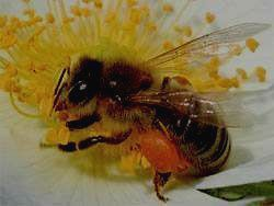 Заповедник ШУЛЬГАН-ТАШ - пчела