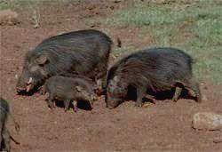 KIBALE NATIONAL PARK - большая лесная свинья