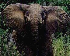KIBALE NATIONAL PARK - лесной слон