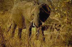 BWINDI IMPENETRABLE - слон