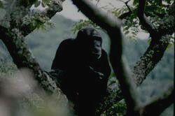 BWINDI IMPENETRABLE - шимпанзе