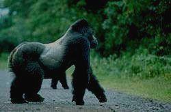 BWINDI IMPENETRABLE - горилла