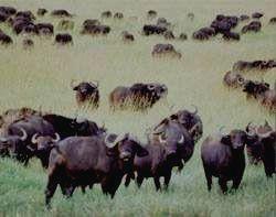 MGAHINGA - буйвол