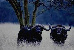 SEMULIKI - буйвол