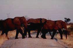 SEMULIKI - слон