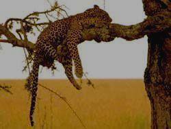 SEMULIKI - леопард