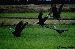Заповедник БОЛОНЬСКИЙ - чёрный журавль