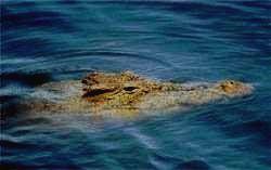 MURCHISON FALLS - крокодил