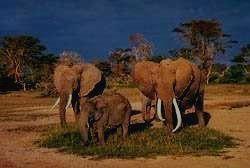 MURCHISON FALLS - слон
