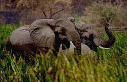 QUEEN ELIZABETH - слон