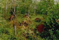 Заповедник ПАСВИК - скопление муравейников