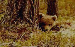 Заповедник ПАСВИК - медвежонок