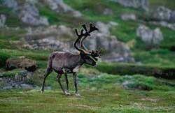 Заповедник АЗАС - северный олень