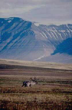 Заповедник БАСЕГИ - северный олень