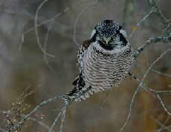 Национальный парк ТАГАНАЙ - сова ястребиная