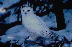 Национальный парк ТАГАНАЙ - сова белая