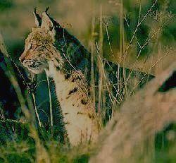 Национальный парк ТАГАНАЙ - рысь