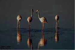 ARUSHA  -  фламинго
