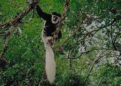 ARUSHA  -  колобус чёрно-белый