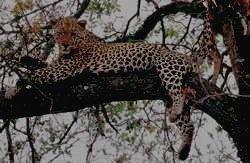 ARUSHA  -  леопард